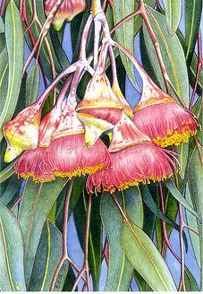 Eucalyptus caesia card (10x15).jpg