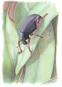 Red legged weevil (15x21)_1.jpg