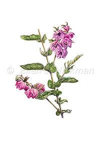 Thomasia montana (15x21)_1.jpg