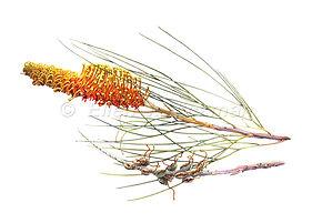 Grevillea excelsior (15x21)_1.jpg