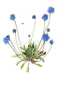 Brunonia australis (15x21)_1.jpg