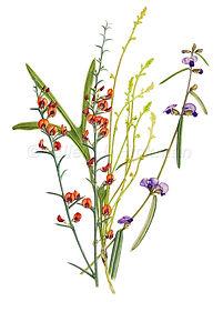Daviesia, Synaphea, Hovea (15x21)_1.jpg