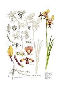 Donkey Orchid Study (10x15).jpg