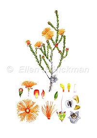 Eremaea breviflora (15x21)_1.jpg
