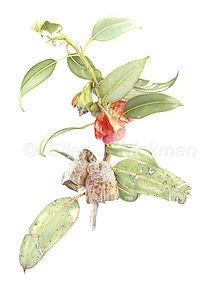 Eucalyptus tetraptera (15x21)_1.jpg