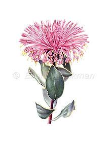 Isopogon latifolius (15x21).jpg