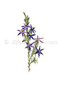Calectasia grandiflora (15x21)_1.jpg