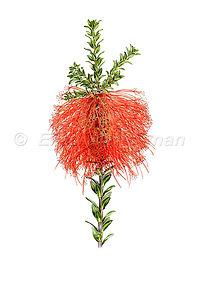 Beaufortia sparsa (15x21)_1.jpg