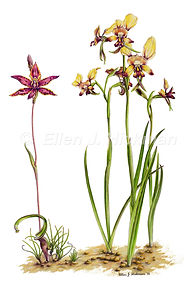 Queen of Sheba & Donkey orchid (10x15).jpg