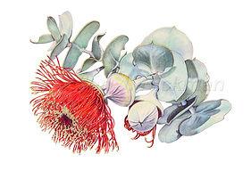 Eucalyptus rhodantha (15x21)_1.jpg