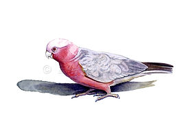 Pink & Grey Galah (15x21)_1.jpg