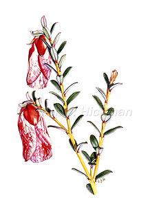 Darwinia macrostegia card (10x15).jpg