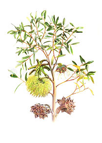 Eucalyptus conferrminata (15x21)_1.jpg