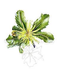 Banksia ilicifolia (15x21)_1.jpg