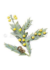 Acacia glaucoptera (15x21)_1.jpg