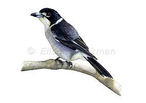 Butcher bird (15x21)_1.jpg
