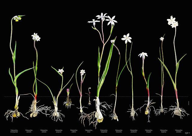 Tribonanthes whole plant plate.jpg