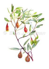 Eucalyptus stoatei (15x21)_1.jpg