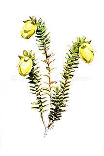 Darwinia collina card.jpg