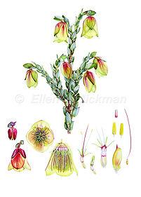 Pimelea physodes (15x21)_1.jpg