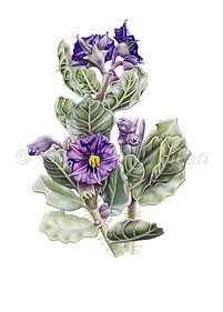 Solanum lasiophyllum (15x21)_1.jpg
