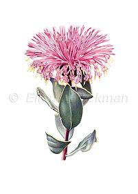 Isopogon latifolius (15x21)_1.jpg