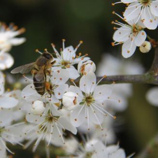 Honey Bee on Blackthorn