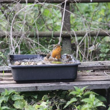 A Robin taking a wash.