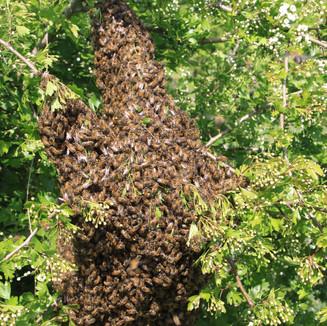 Swarm in a maybush