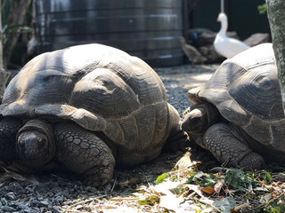Our Resident Giant Tortoises