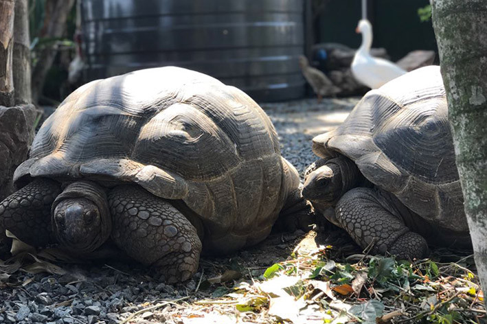 de Charmoy Estate Giant Tortoises
