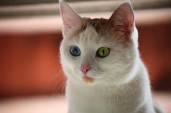 bigstock-Cat-with-different-color-eyes-89789150