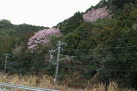 粉白の早咲き