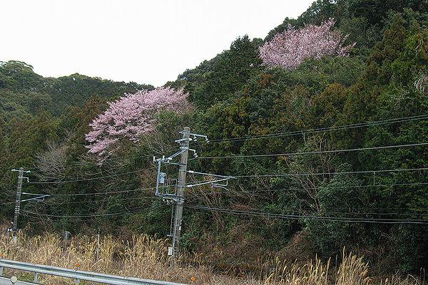 粉白の早咲