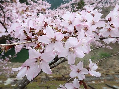 クマノザクラは花弁の色合いに濃淡がある