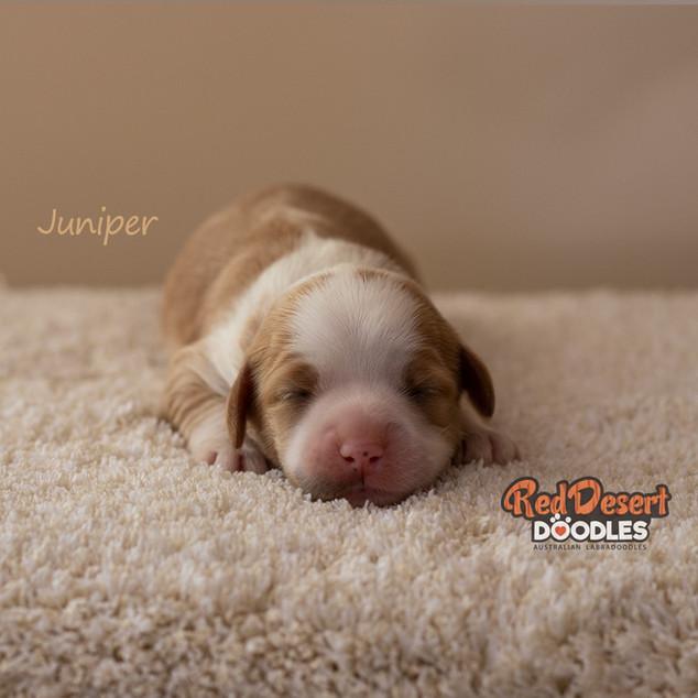 Juniper Cropped.jpg