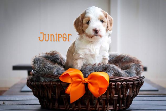 Juniper6.jpg