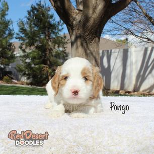 Pongo.png
