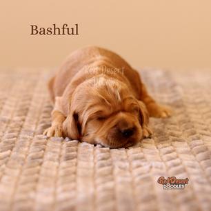 Bashful.png