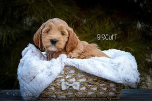 Biscuit 4.jpg