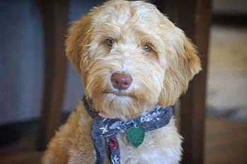 Australian Labradoodle Puppy Breeder