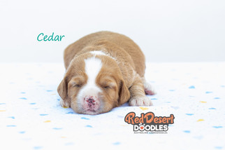 Cedar 1.jpg