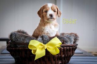 Cedar6.jpg