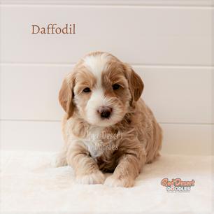 Daffodil.png