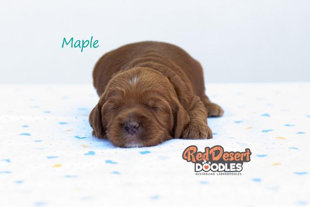 Maple 1.jpg