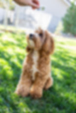 Australian Labradoodle Puppy | Red Desert Doodles Breeder