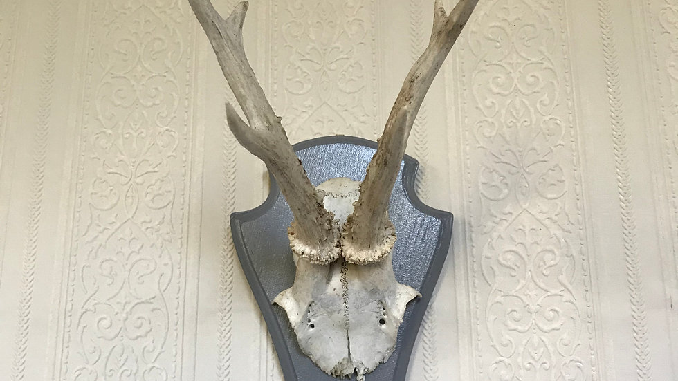 Vintage Plaque Wooden Mounted Roe Deer Antlers with Grey Painted Mount