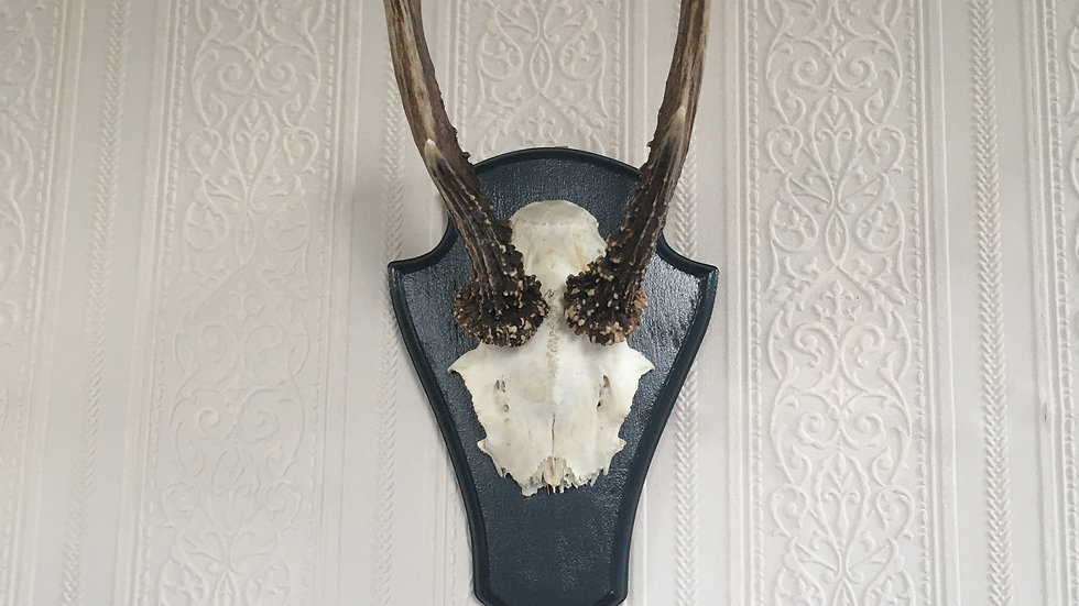 Lovely Plaque Mounted German Roe Deer Antlers with Black Painted Mount