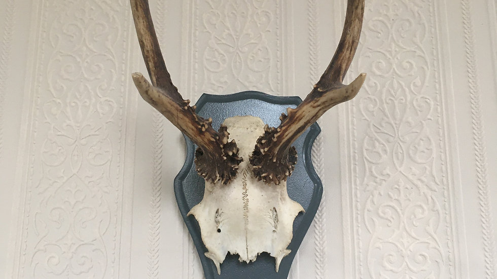 Vintage Painted Farrow and Ball Downpipe Plaque Mounted German Roe Deer Antlers