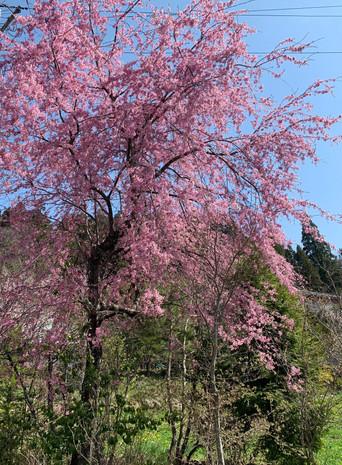 敷地内の枝垂れ桜